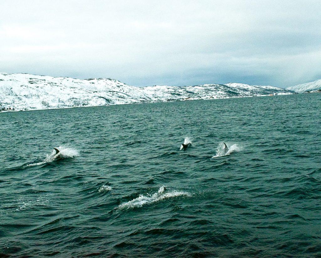 Delfini tra i fiordi.